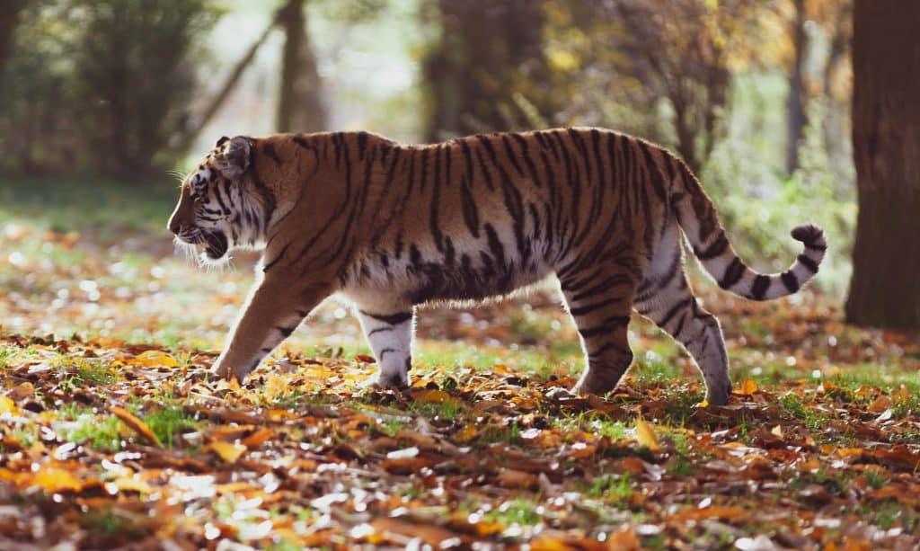 Tigre caminhando em um gramado