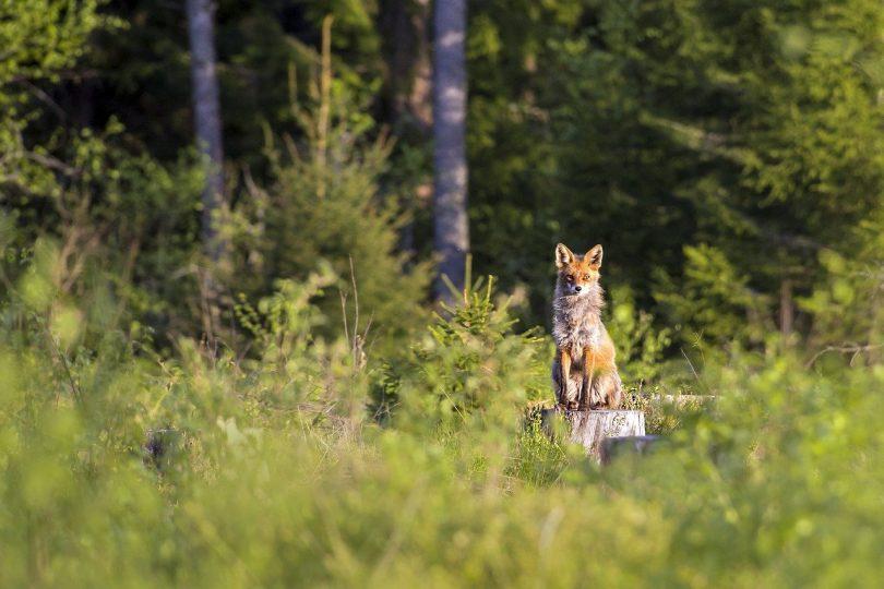Lobo dentro de uma floresta