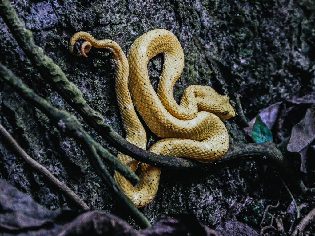 Cobra amarela.