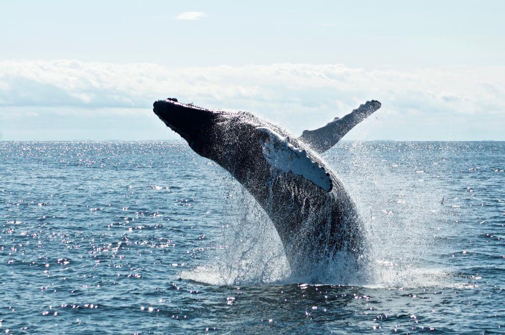 Baleia saltando para fora do mar