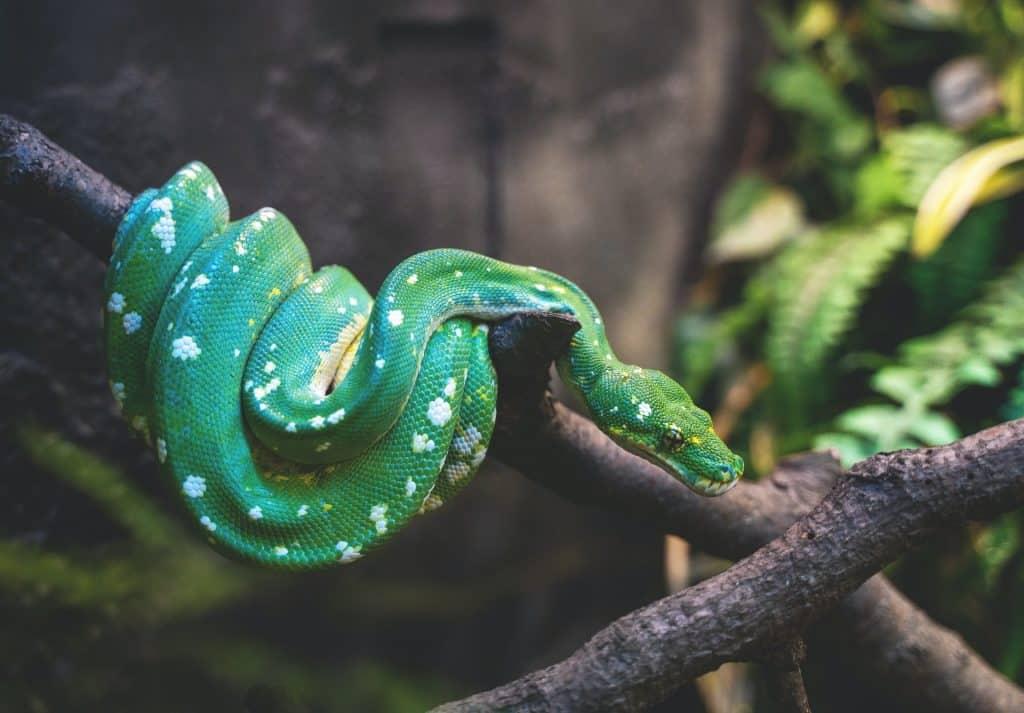 Cobra verde.