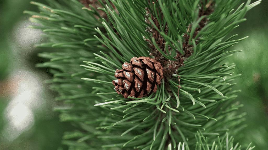 Imagem de um galho de pinheiro e uma pinha