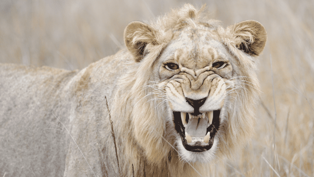 Imagem de um leão rugindo