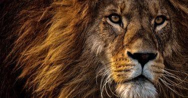 Foto aproximada da cabeça de um leão
