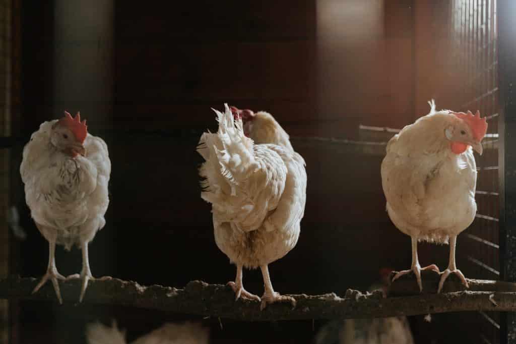 Três galinhas brancas.