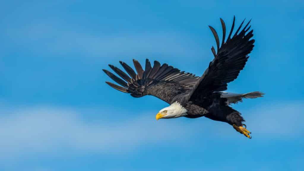 Uma águia voando no céu