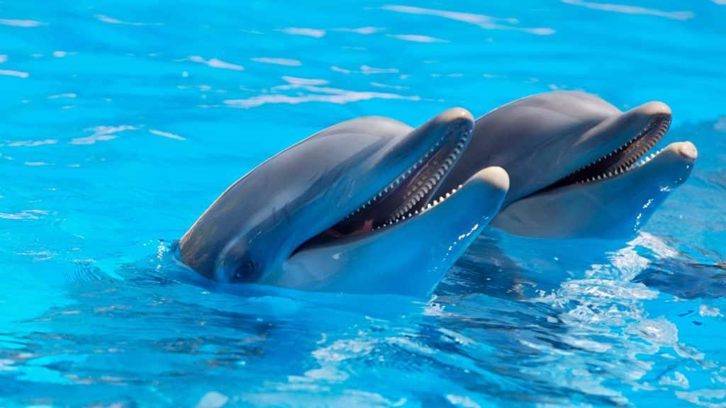 Dois golfinhos com a cabeça para fora da água de uma piscina