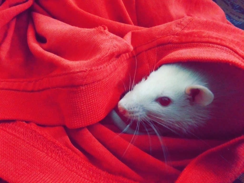 Rato branco enroladinho em uma camiseta vermelha.