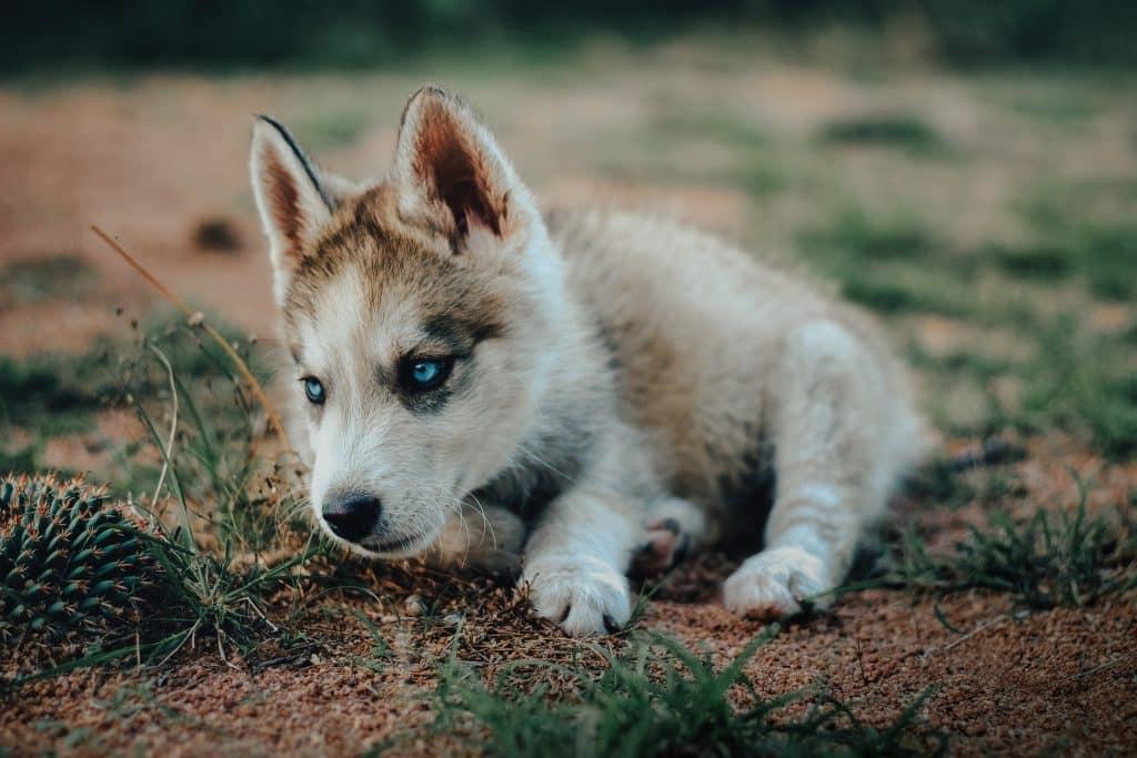 Filhote de lobo branco com olhos azuis