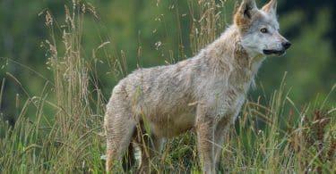 Lobo cinza no campo