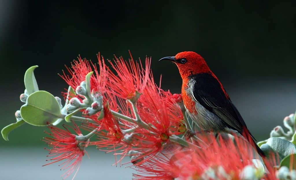 Pássaro vermelho sobre planta igualmente vermelha.
