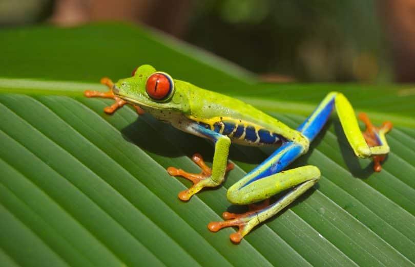 Sapo verde, azul e amarelo em cima de uma folha