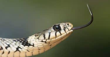 Cobra preta e branca