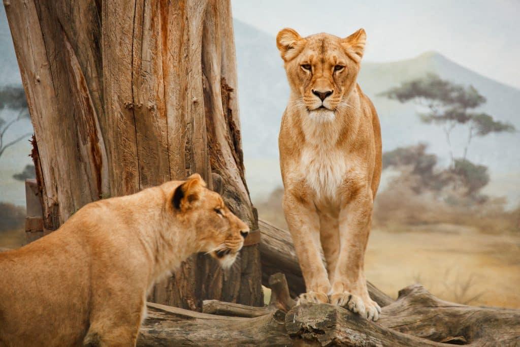 Duas leoas em frente a uma árvore