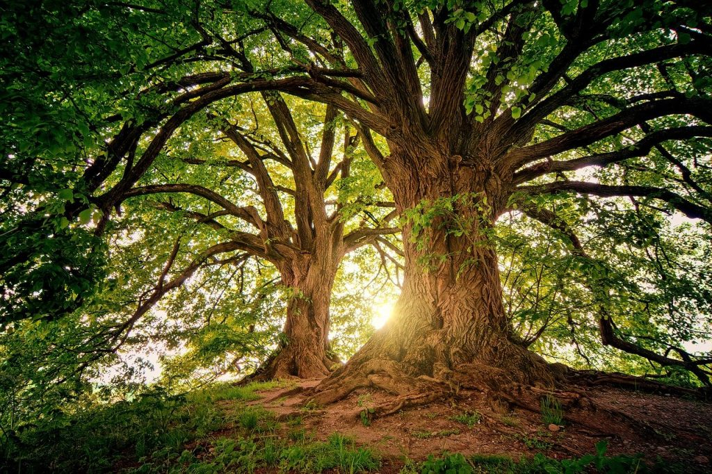 Duas árvores grandes em uma floresta com o Sol iluminando-as