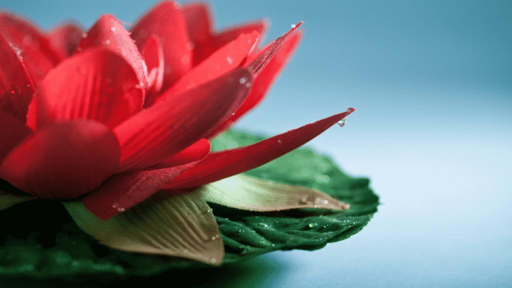 Flor de lotus vermelha