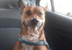 Cachorro sorrindo.