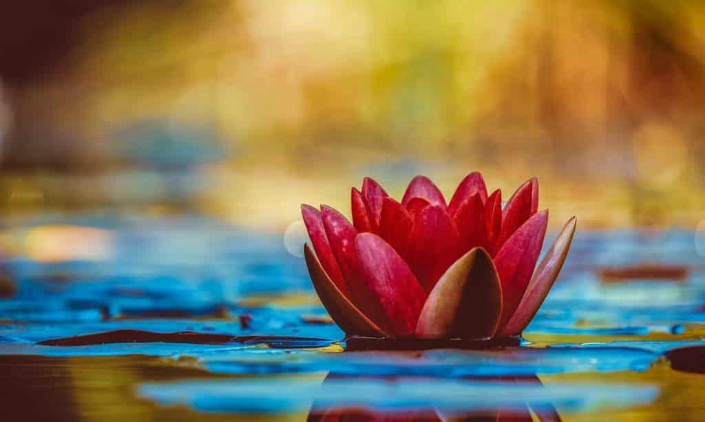 Flor de lótus vermelha em água.