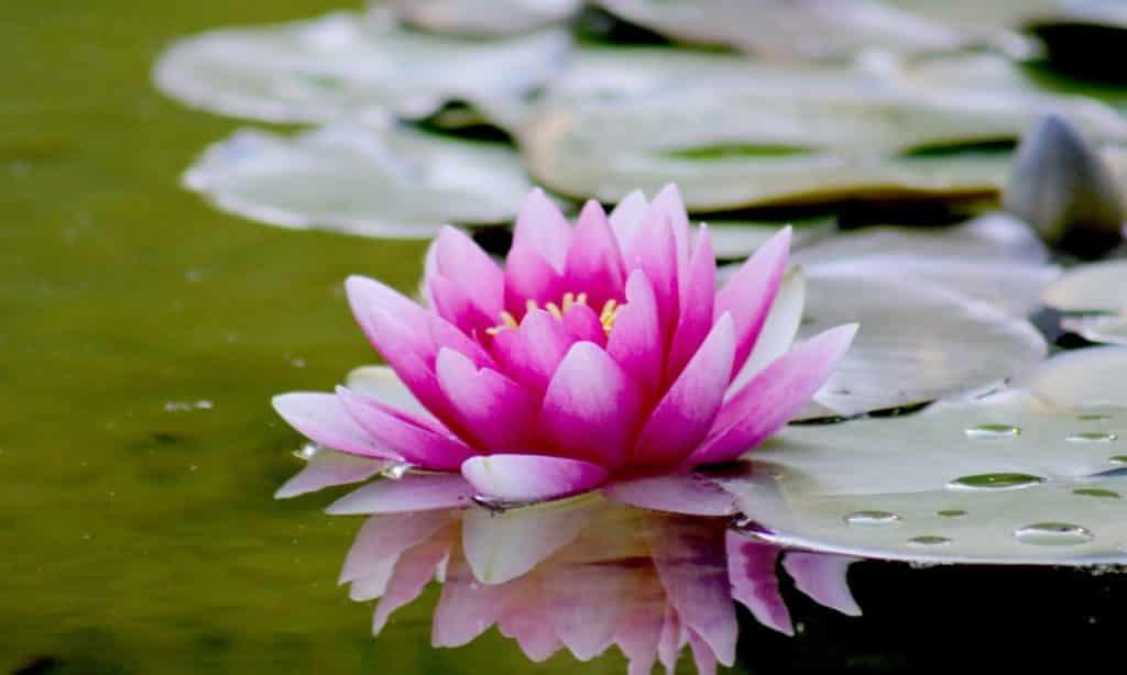 Flor de lótus em água.