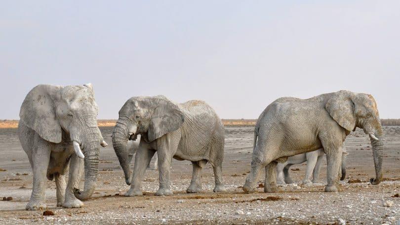 Elefantes enfileirados