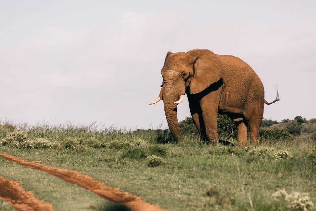 Elefante em um gramado