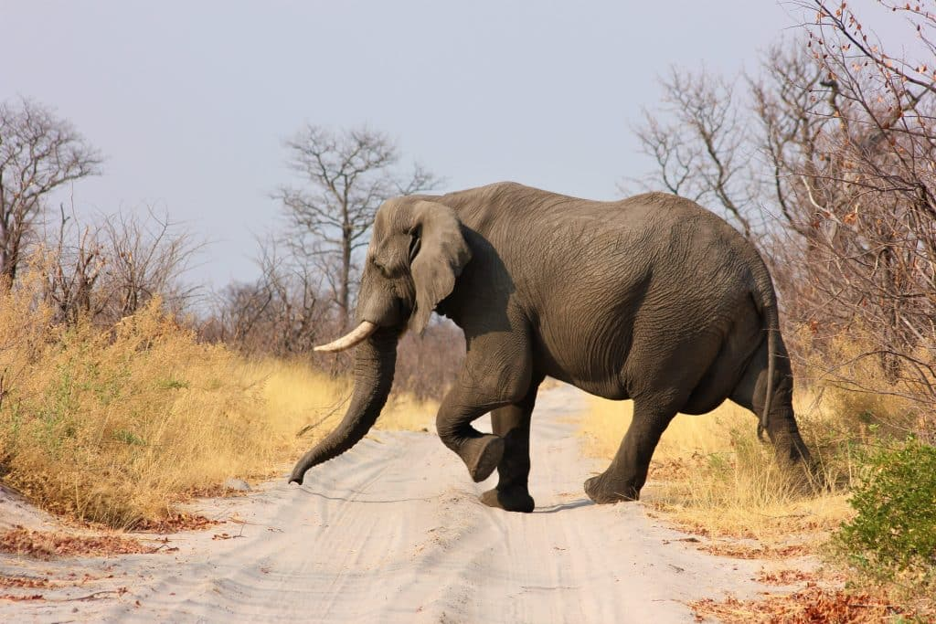 Elefante atravessando uma estrada de terra