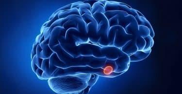 Ilustração da hispófise no cérebro