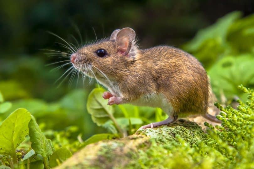 Ratinho com uma folha na mão.