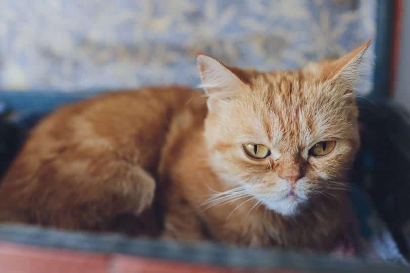Gato laranja.