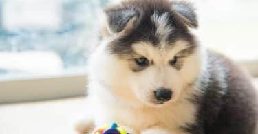 Perto do cachorrinho fofo husky siberiano brincando de brinquedo de cachorro no chão.