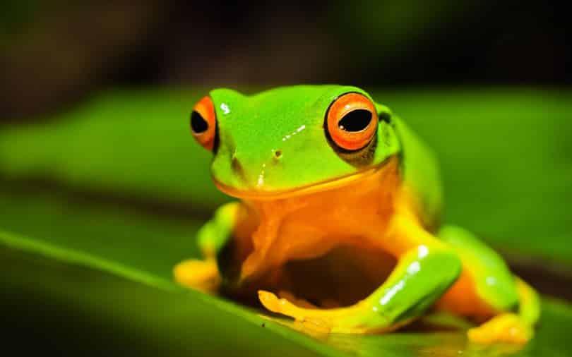 Sapo verde em cima de uma folha.