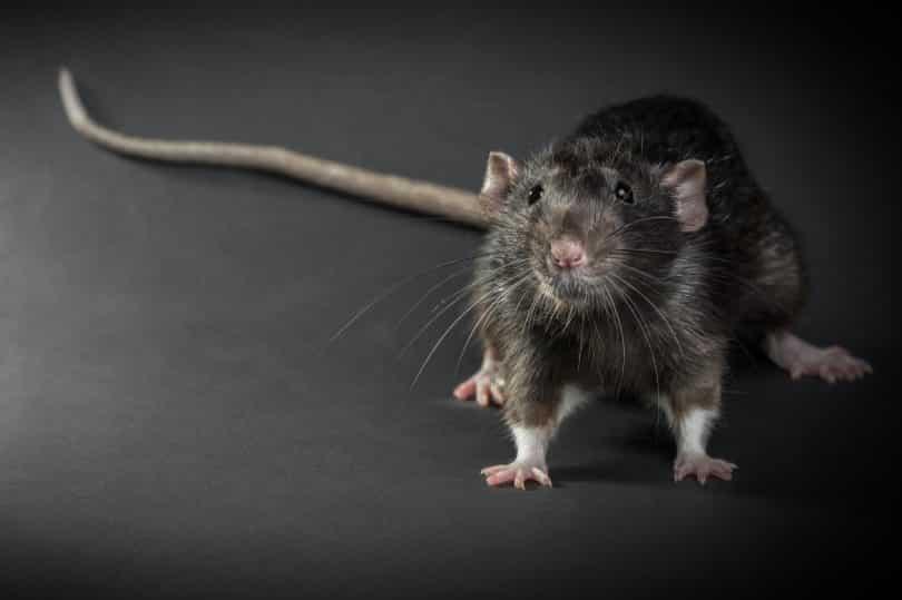 Imagem aproximada de um rato preto