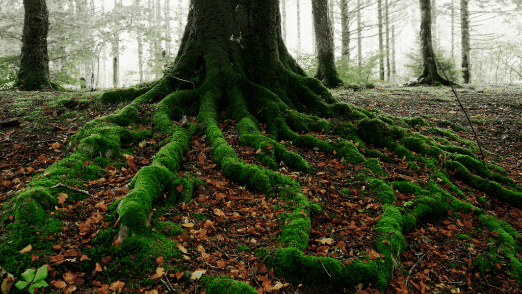 Raízes de uma grande árvore cobertas por musgo verde