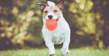 Cachorro correndo em um campo, com uma bolinha na boca