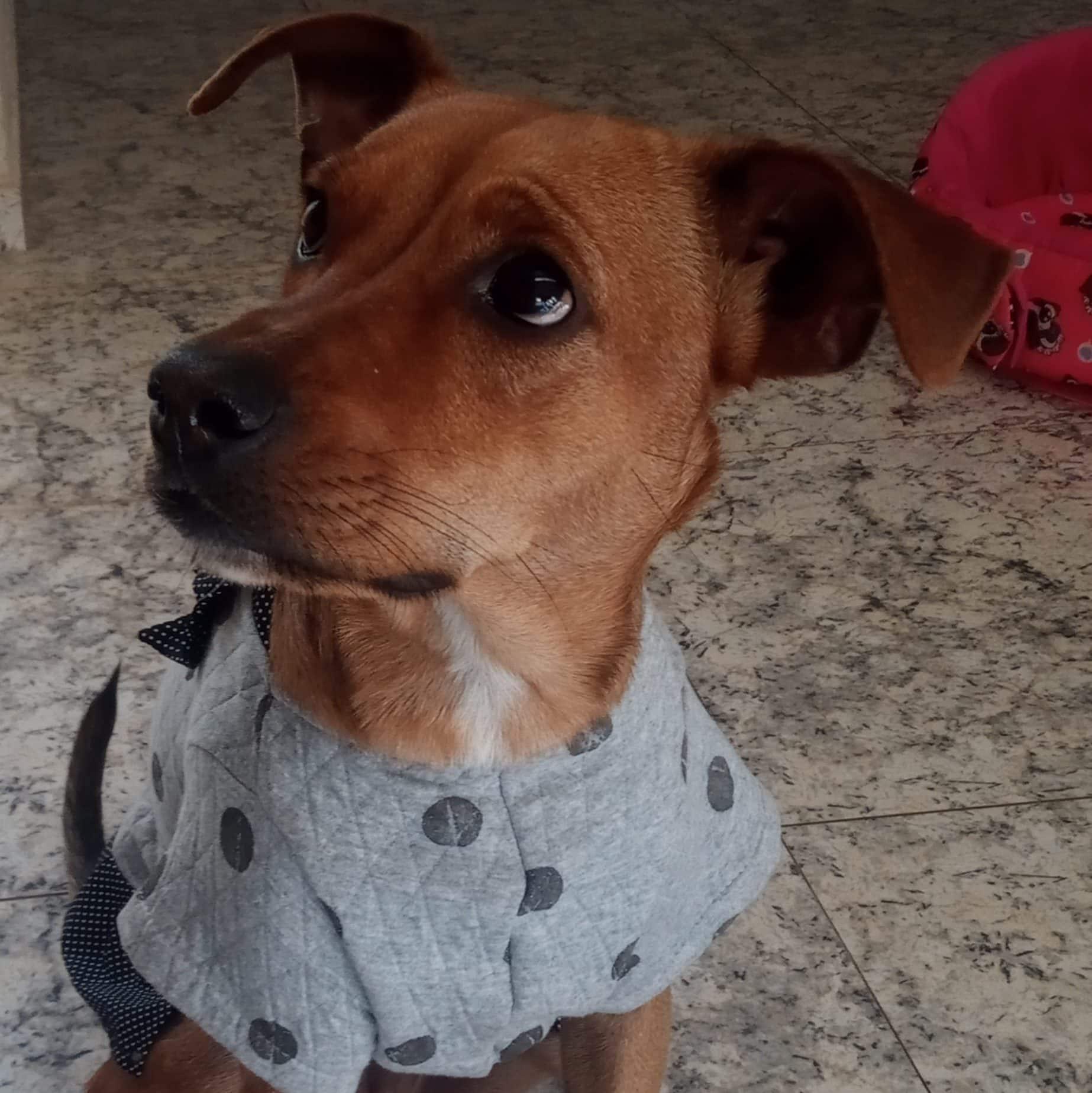 Foto de uma cadelinha com roupinha cinza.