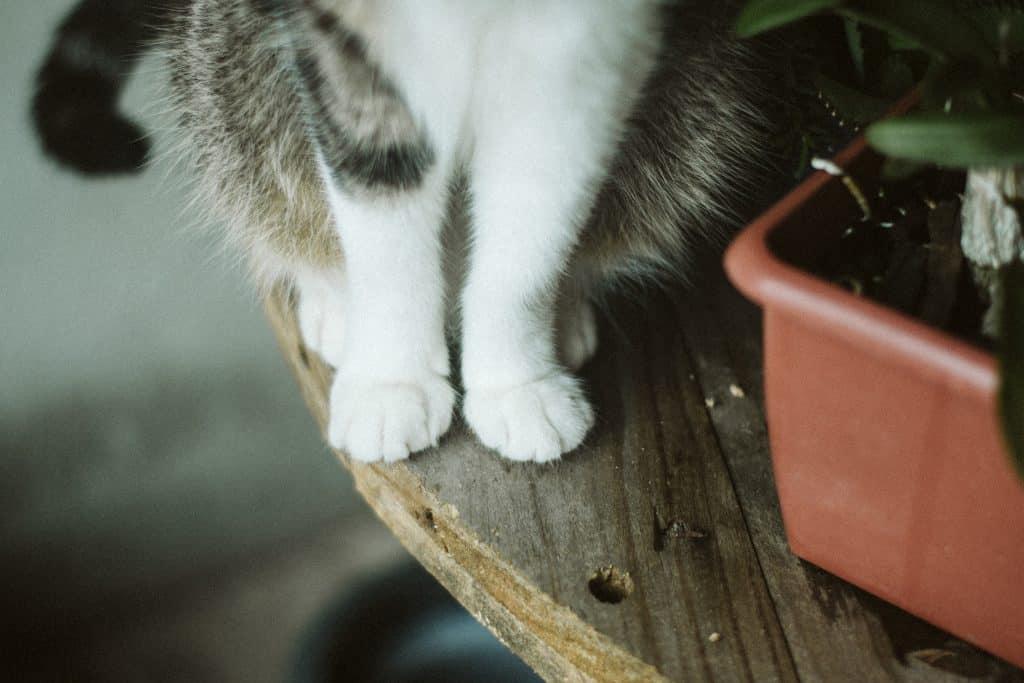 Patas de um gato sentado em uma mesa