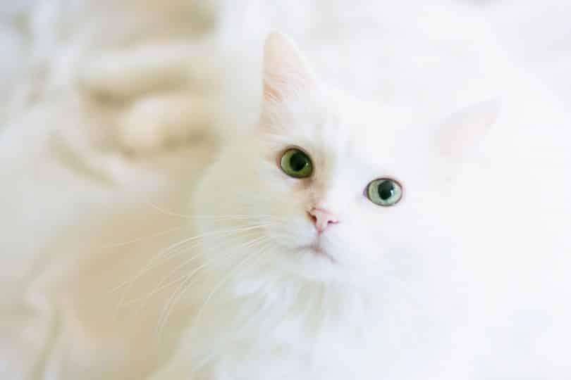 Gato branco deitado em cima de uma cama