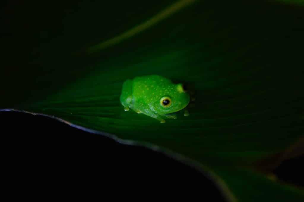 Sapo pequeno e verde.