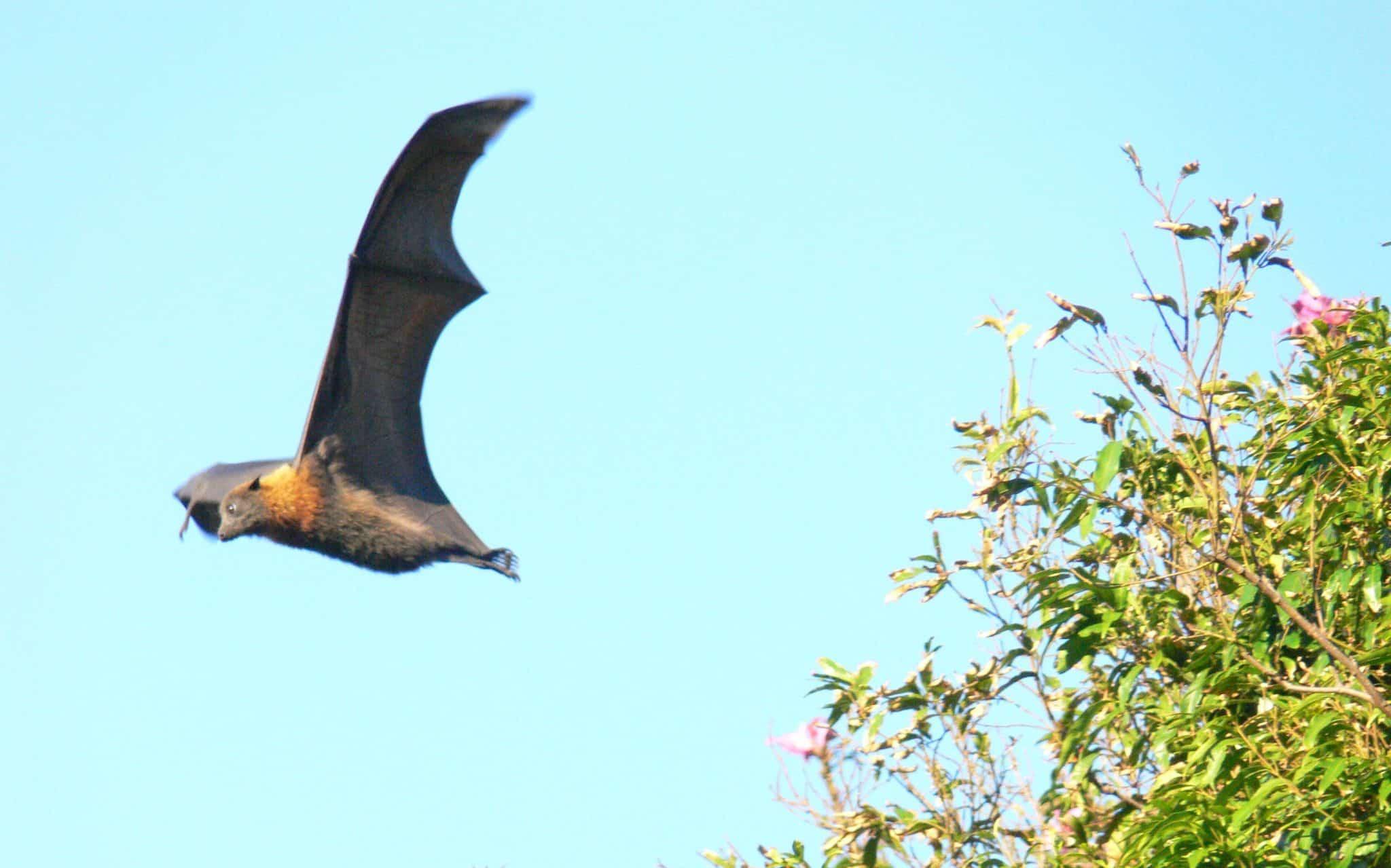 Um morcego voando.