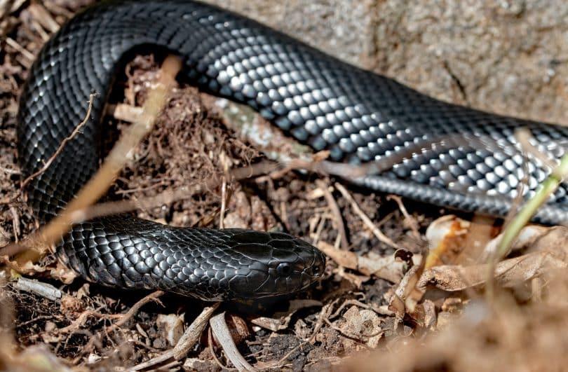 Uma cobra preta sobre uma terra com folhagem seca.