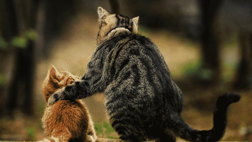Gato adulto com a pata na costa de um gato filhote