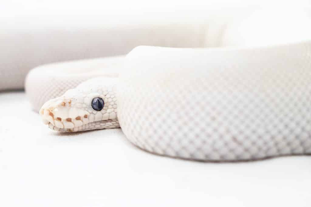 Parte do corpo de uma cobra branca vista de perfil. Sua cabeça e seu corpo se debruça sobre um terreno branco.