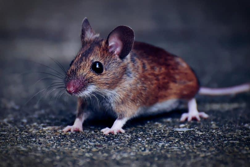 Um rato pequeno de pelagem alaranjada