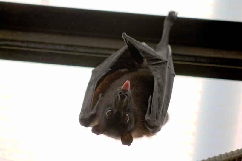 Um morcego (raposa-voadora) pendurado em uma grade ferro e exibindo sua língua.