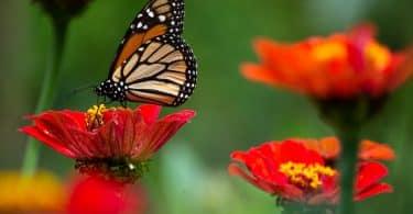 Uma borboleta pousando numa flor vermelha. Ao fundo, outras flores vermelhas.