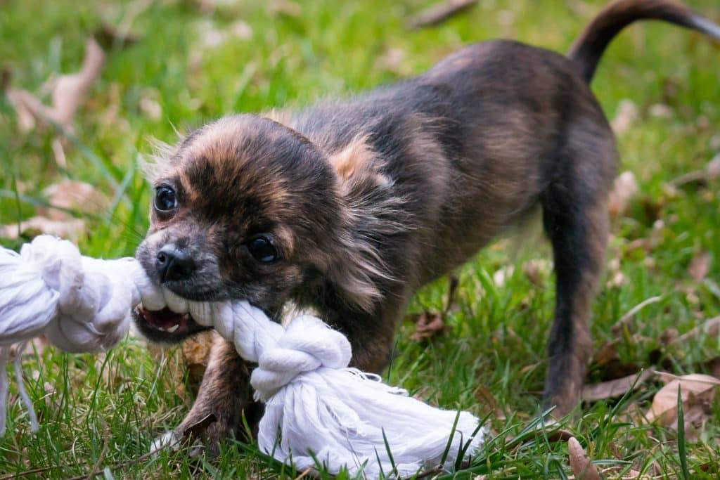 Um pequeno cachorro sobre um gramado verde mordendo um pedaço de pano.