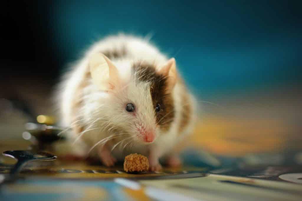 Um rato de pelagem branca e marrom. Embaixo dele, um grão de ração animal