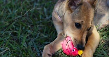 Um cachorro sobre um gramado verde mordendo uma pequena bola rosa.