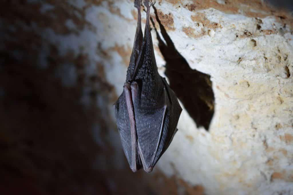 Um morcego se cobrindo da luz com suas asas.