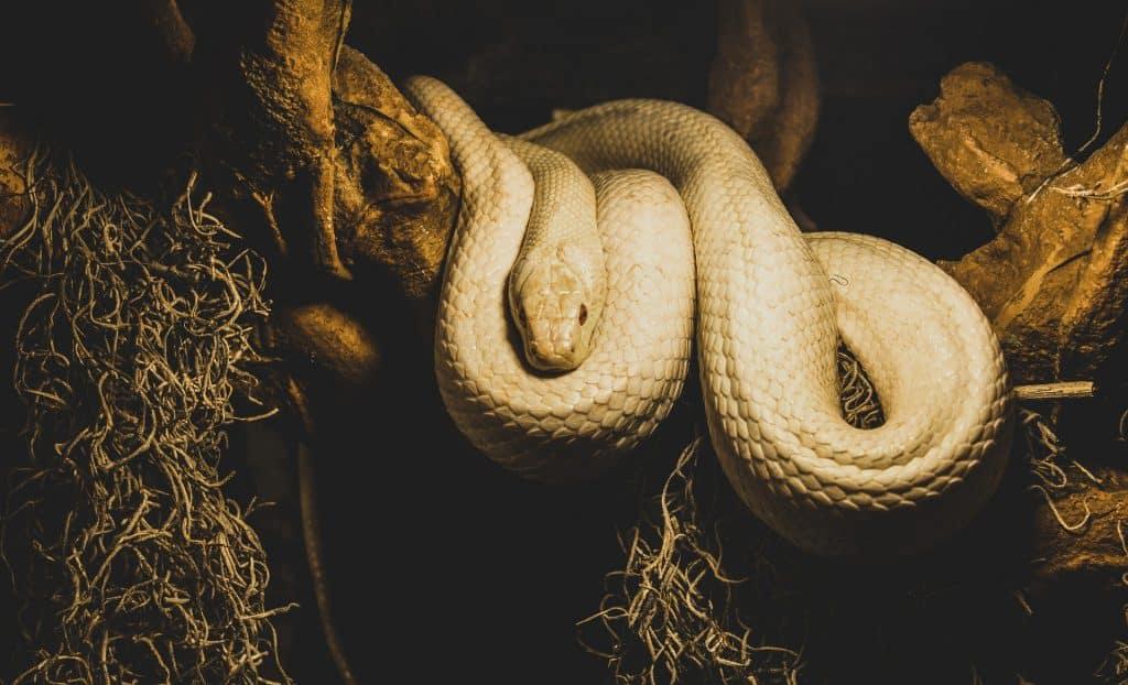 Uma cobra branca sobreposta a um galho grosso de árvore.
